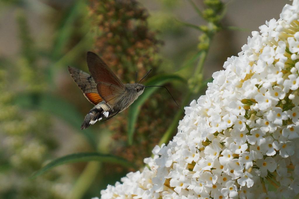 Photo d'un papillon Moro-Sphinx 2.png