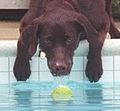 Photograph of Buddy the Dog Reaching for a Tennis Ball- 07-12-1998 (6461536137) (cropped2).jpg