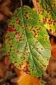 Phragmidium violaceum 101113877.jpg