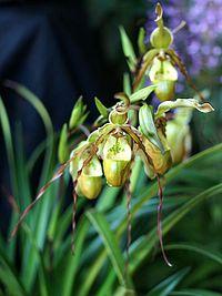 Phragmipedium tetzlaffianum Orchi 04.jpg