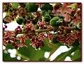 Phyllanthus acidus 2.jpg