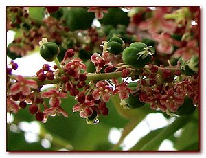 Phyllanthus - Male and female flowers of Phyllanthus acidus