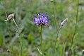 Phyteuma orbiculare 03.jpg