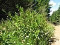 Phytolacca octandra plant11 NT (16605153811).jpg