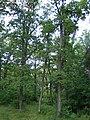 Piļoru ozolu audze, Andzeļu pagasts, Dagdas novads, Latvia - panoramio - M.Strīķis.jpg