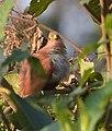 Piaya cayana (Cuco ardilla - Squirrel cuckoo) (45837196031).jpg