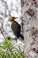 Pica-pau-de-cabeça-amarela no Parque Estaudal Intervales.jpg