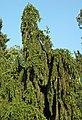 Picea abies (Norway spruce) 2 (25569832238).jpg
