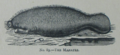 Picture Natural History - No 89 - The Manatee.png
