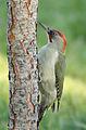 Picus viridis sharpei 055.jpg