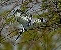 Pied Kingfisher by Irvin Calicut IRV6488.jpg