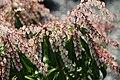 Pieris japonica Dorothy Wyckoff 8zz.jpg