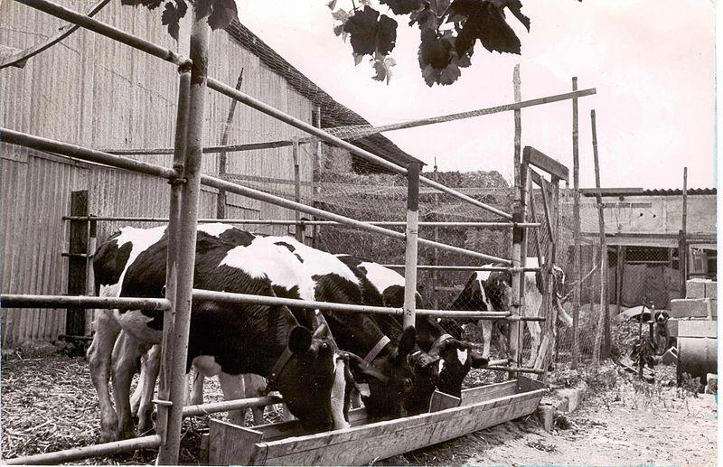שדה-ורבורג פרות ורפת