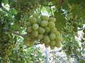 PikiWiki Israel 2446 Grapes in Shtula Israel אשכול ענבים.jpg