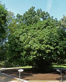Camellia Japonica Wikipedia