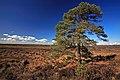 Pine tree at Handy Cross Plain, New Forest 2 - geograph.org.uk - 364600.jpg