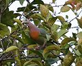 Pink-necked Green-Pigeon (Treron vernans) male - Flickr - Lip Kee (4).jpg