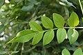 Pink jasmine leaf 9.jpg