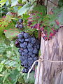 Pinot noir cluster with speckled color leaf and damaged berries.jpg