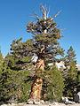 Pinus balfouriana Arrowhead Lake.jpg