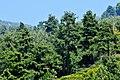 Pinus brutia - Kızılçam - Turkish pine 01.JPG