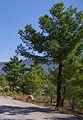 Pinus brutia Taurus Mts.jpg