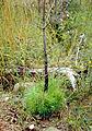 Pinus echinata regrowth.jpg