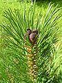 Pinus mugo1 benntree bialowieza.jpg