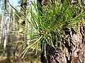 Pinus rigida foliage Poland.jpg