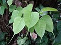 Pipal tree leaves.jpg