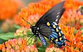 PipevineSwallowtail on Milkweed (21986952053).jpg