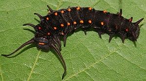 Battus philenor - Image: Pipevine Swallowtail larva, Megan Mc Carty 52