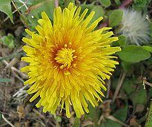 Flor de dente-de-leão
