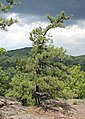 Pitch Pine at Pinnacle Rock 2.jpg
