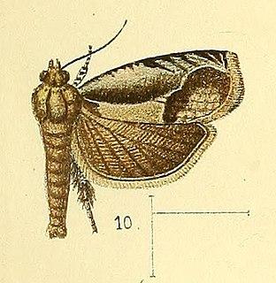 <i>Phaecasiophora</i> Genus of tortrix moths