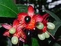 Plant Ochna P1110532 01.jpg