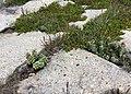 Plantago maritima plant (48).jpg