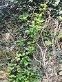 Plante grimpante inconnue à fleur jaune 5.jpg