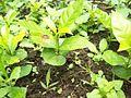 Plantillos de cefè Wiwili Jinote Nicaragua.JPG