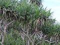 Plants of Manzamo.jpg