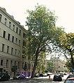 Platanus hispanica, Poznan, Libelta street (II).JPG