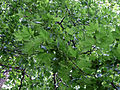 Platanus hispanica leaves - in Ostpark.jpg