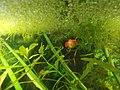 Platy in Aquarium 1.jpg