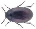 Platydema violaceum (Fabricius, 1790).png