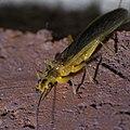 Plecoptera P1420686a.jpg
