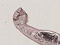 Pleioplana atomata (YPM IZ 073814) 87.jpeg