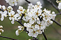 Plum blossoms.jpg