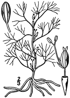 <i>Podostemum ceratophyllum</i> species of plant