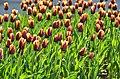 Poertschach Blumenstrand vor Parkhotel Tulpenbeet 28042013 122.jpg