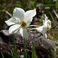 Poet's Daffodil (Narcissus poeticus) (4650928946).jpg